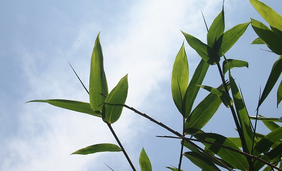 bamboo leafes in the sky